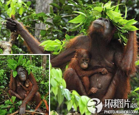 印尼大猩猩用树叶当雨伞为幼仔挡雨