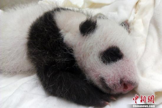 8月4日,台北市立动物园替人气超旺的大熊猫宝宝圆仔办满月,按照台湾风俗,女儿出生29天即为满月,园方在这天邀请民众一起为它举行盛大的生日派对,并为熊猫宝宝征集好名。图为圆仔满月照。中新社发 (台北动物园供图)   中新网8月5日电 据台湾TVBS网站报道,台北动物园的熊猫宝宝圆仔已经出生29天,动物园依照为出生29天女儿办满月酒的习俗,4日举办圆仔的满月PARTY,来参加的小朋友,都能体验喂圆仔喝奶。而圆仔的命名活动也正式起跑,先征名1个月,中秋节公布第一阶段名单,然后就开放大家票选,而