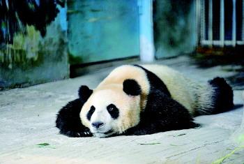 4日,在济南动物园内,大熊猫全身伏地,趴在专门特制的空调房里一动也不