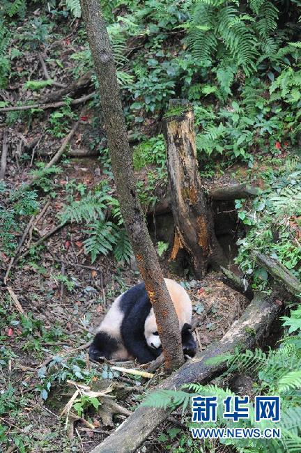 """大熊猫""""公主""""在半野化环境中顺利产仔(图)"""