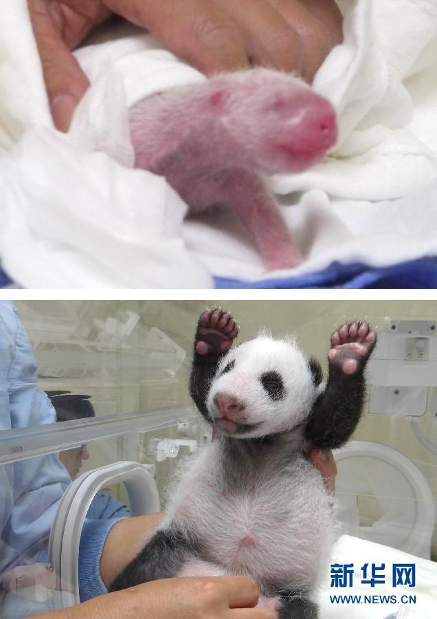 """宝宝 熊猫 百出/这是大陆赠台大熊猫""""圆圆""""7月6日产下的幼仔""""圆仔"""",当时..."""