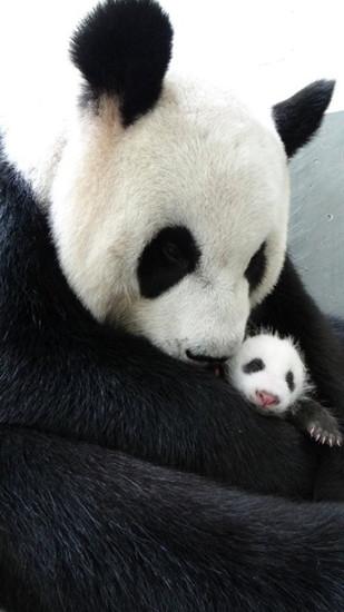 """从上周五(9日)开始,动物园已经采取渐进的方式,让宝宝""""圆仔""""与妈妈""""圆圆""""相处,图为""""圆圆""""抱住""""圆仔""""。台北市立动物园提供"""