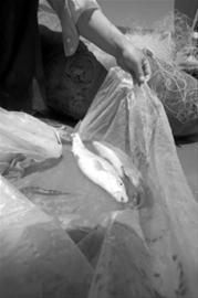 长江第一湾石鼓江段鱼类资源濒临崩溃
