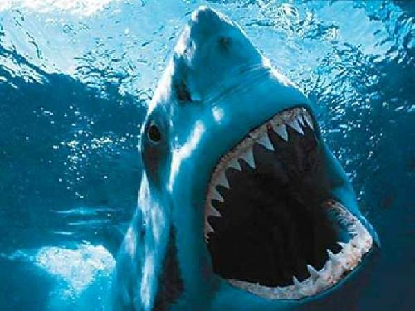 大白鲨是海洋中体型最大的掠食性鱼类,拥有令人生畏的攻击性。它们不仅长相恐怖,还拥有锋利的牙齿以及惊人的速度和力量。有时候,它们会将人类误认为海豹或者别的猎物,而后发动攻击。