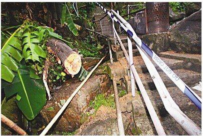 倒塌大树压凹铁栏杆(右),大树事后被锯断移到一旁(左)。来源 香港《文汇报》
