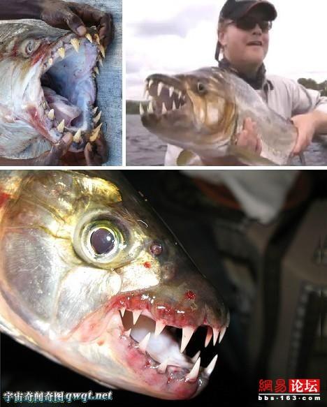 食人鱼为何难以称霸亚马逊