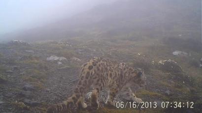 崇州鞍子河保护区的红外相机拍到的雪豹照片。图片由保护区提供