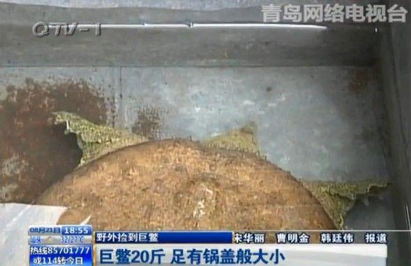 鳖不少人都见过,不过你见过体长近半米,体重近20斤的鳖吗?前两天,胶州市民张先生的家人就从野外捡到了这么一只锅盖般大小的巨鳖。