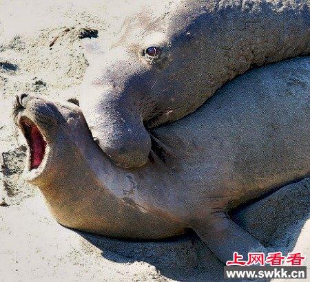 10幼性交_盘点动物世界暴力性交:章鱼生殖器留在雌性体内/图(1)