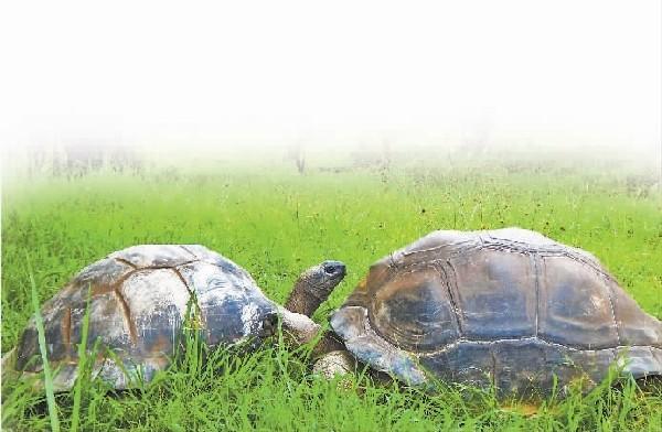 海沧动物园象龟出门溜达吃青草(组图)