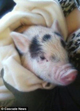 道斯购买时希望这头宠物猪长大后不要超过13公斤。