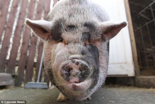 """""""达德利""""已经长成约127公斤,从鼻子到尾巴长度约170厘米。"""