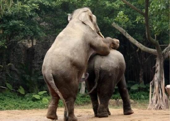 罕见动物性爱 令人瞠目的大象后入式交配/图(1)_科学探索_光明网