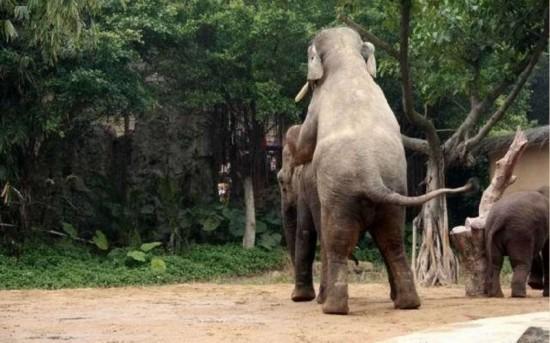性交��.�9l����[��_罕见动物性爱 令人瞠目的大象后入式交配/图(1)_科学探索_光明网