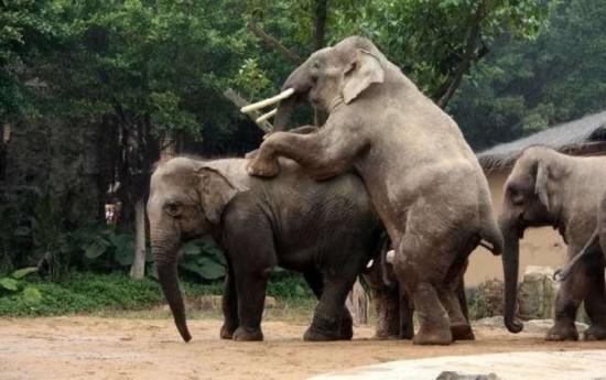 看性爱345_罕见动物性爱 令人瞠目的大象后入式交配/图(1)_科学探索_光明网