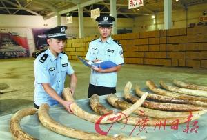 海关缉私人员对查扣的涉嫌走私象牙进行清点。