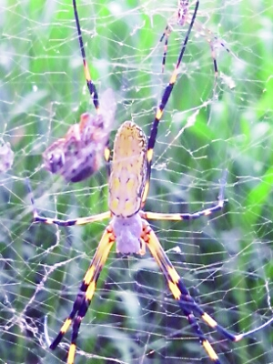 自家房后發現碗口大蜘蛛