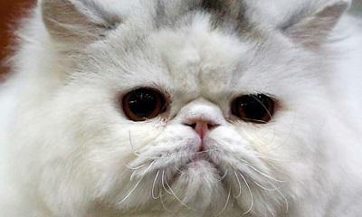 波斯猫资料图