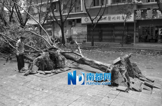 22日,汕头城区一棵大树被狂风连根拔起。新华社发