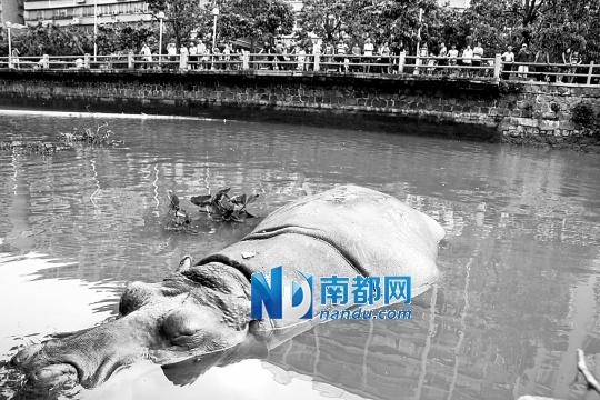 """22日,汕头市动物园积水最深时达2米,一只2吨多重的河马顺着水流""""越狱"""",游至公园外围的河流内,最终被工作人员""""逗引""""回家。IC图片"""