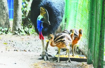 近日,红山动物园的澳洲展区里多了3只小食火鸡的身影,它们是红山动物