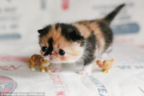 这只异国短毛猫对异种非常友好