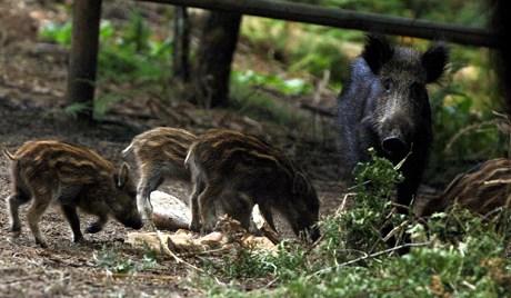 哈巴罗夫斯克警方在中心市场击毙一头野猪。