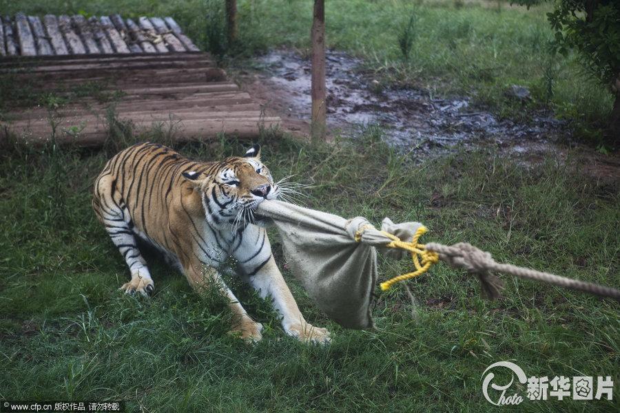 动物园,游客在和老虎拔河比赛