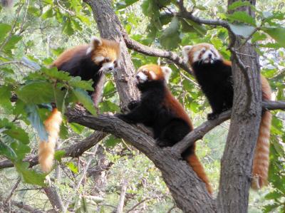 """昨日,森林动物园小熊猫馆正式开馆,22只小熊猫搬进了舒适明亮的新"""""""