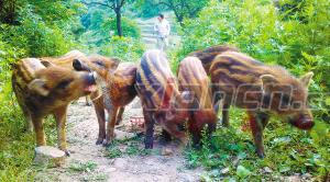 孟远红放养野猪