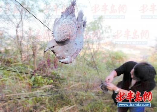 这些捕鸟的人真是有恃无恐啊,鸟网刚拆了没几天就又架上了。9月30日5时许,记者跟随志愿者再次来到午山,山顶架着的4张大网上缠住了几十只鸟。志愿者们从鸟网上解救了30多只鸟后,将一些鸟放飞,受伤的鸟则带回去治疗。几名网鸟的男子见到志愿者赶紧四散钻进树林,一位男子捕鸟时被抓了个现行,见志愿者拆他的鸟网,男子当场放出狠话,你再拆我鸟网,信不信我一个电话,你们连山都下不了!   刚拆没几天鸟网再现   以前咱们上山都已经出太阳了,捕鸟的人一般都是在凌晨就上山去摘网住的鸟,所以很难抓到现行,这回咱争取抓