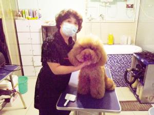 鲍春玫/宠物美容师鲍春玫和贵宾犬叮叮...