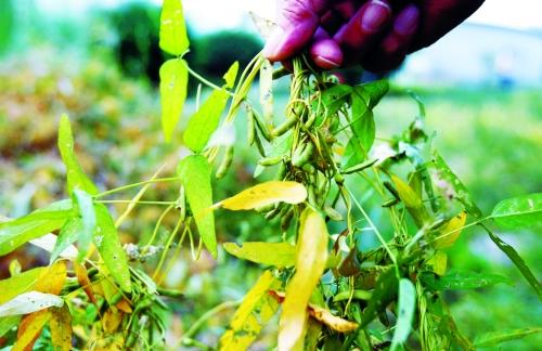 野生大豆的叶子酷似柳叶,较柳叶稍宽一些.