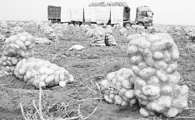 """希森集团在多伦基地扩繁的优质高产马铃薯新品种""""希森3号""""。"""
