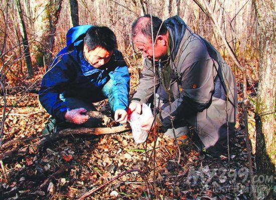 专家提取老虎粪便样本。董红雨提供