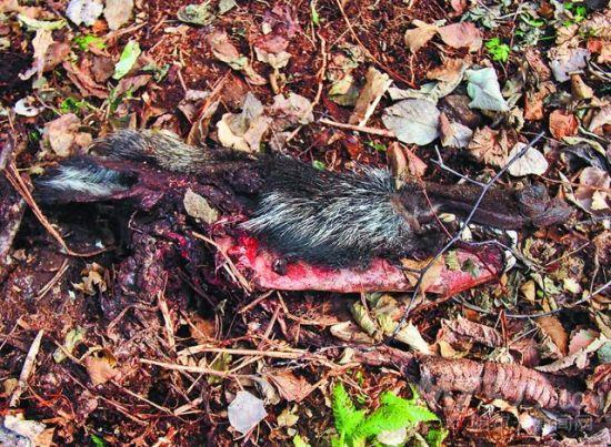 现场发现的野猪头残骸。