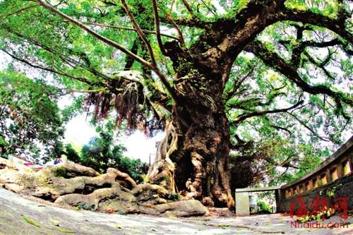 盛村/大榕树的根系绵延出数十米