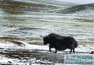 岩羊,大头羊,黄羊,藏羚羊,马熊,猞猁,雪豹,狐狸等动物,其中,野牦牛