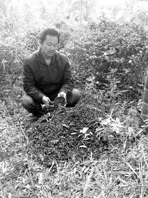 姜阳斌对着堆积如山的蜜蜂尸体欲哭无泪