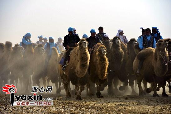 新疆福海千峰骆驼赛跑(图)