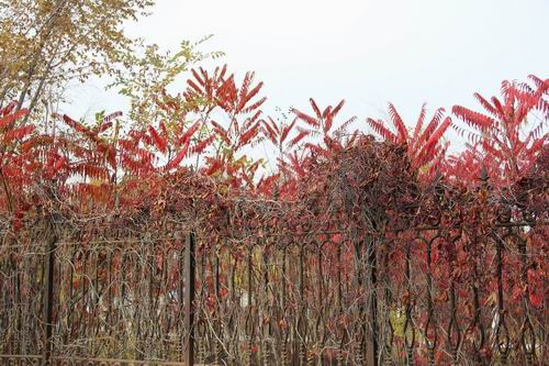 红叶似火出墙来。