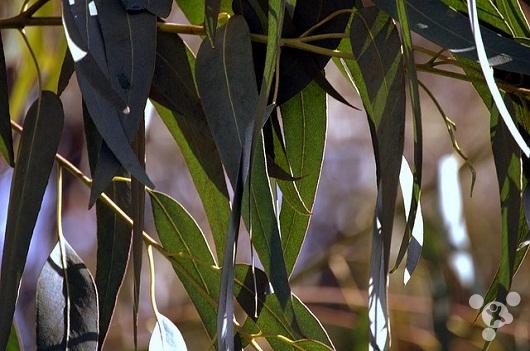摇钱树一直都生活在传说当中,现在它已经成为了现实,而且这种摇钱树并非稀有品种,而是我们最最常见的桉树。   日前,一组澳大利亚科学家利用 X 射线在桉树叶子发现微量黄金,树叶上的这些黄金是树根在地底下寻找水源时将其一并汲取上来的,并输送到了叶子上。   科学家认为,这些桉树从地底下 35 米以下的地方汲取了黄金,然后输送到树叶上,排放出来,这样可以避免植物黄金中毒。对植物来说,黄金是一种有毒物质。   我们将桉树成为摇钱树是夸张的说法,其实每一片树叶上黄金含量非常少,500 颗树的树叶上面的黄金仅够