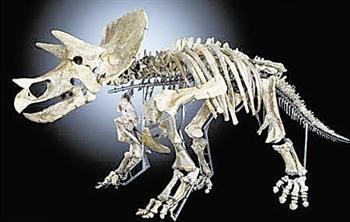 三角龙骨骼