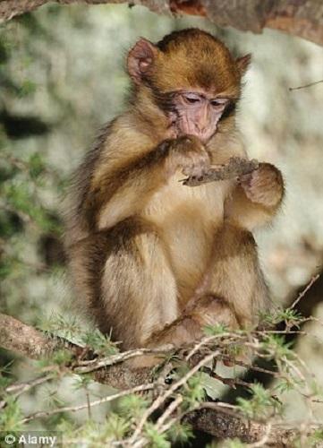 马来西亚印象:猕猴