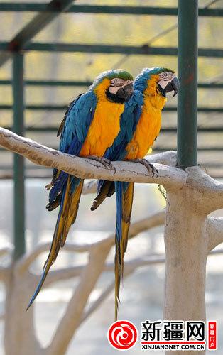 10月28日,在新疆天山野生动物园,一对琉璃金刚鹦鹉在树枝上沐浴阳光.