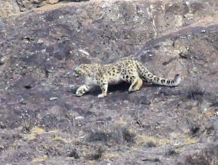 新疆拍到中国首张高清雪豹捕食照(图)