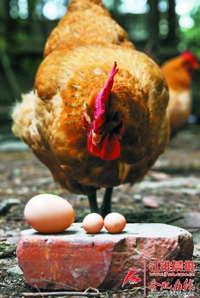 一元硬币大小的鸡蛋与正常鸡蛋对比。(杨峰摄)