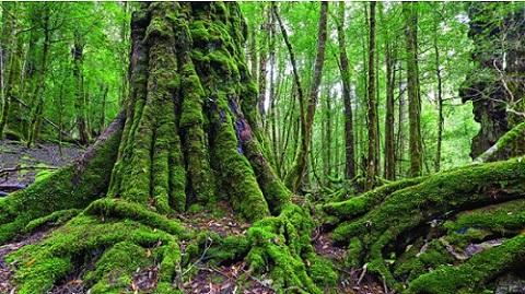 Tarkine雨林,塔斯马尼亚岛