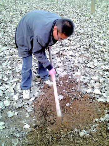 刘宗恩定期都会到地里查看种下的金蝉的情况。