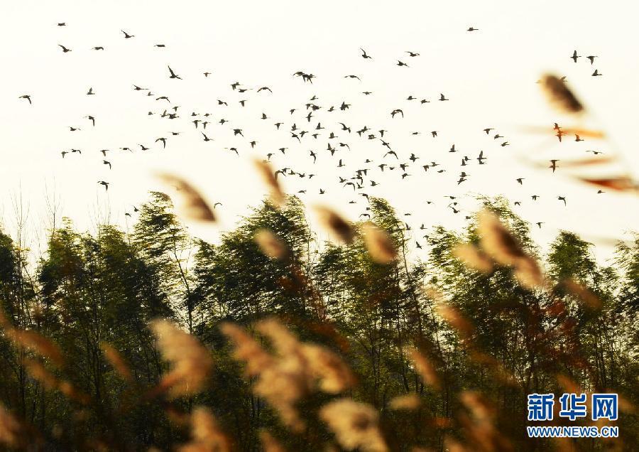 鸟儿从湿地上空飞过(11月17日摄)。